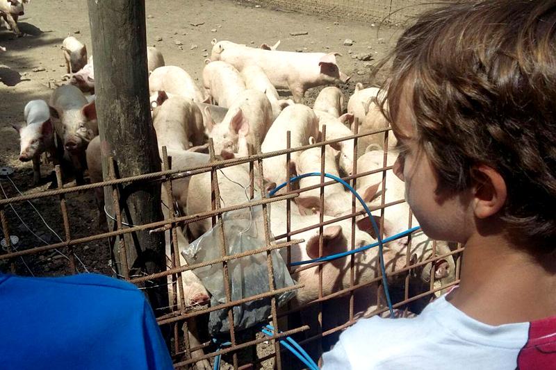 mangiare maiali bambini azienda agricola agriturismo martignano roma lazio