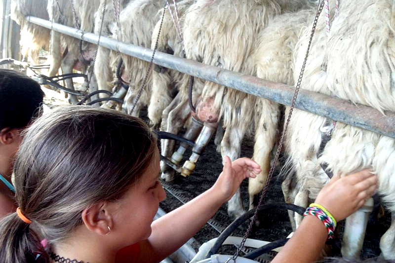 mungitura pecore bambini fattoria didattica azienda agricola martignano roma lazio